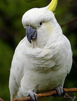 小葵花凤头鹦鹉多少钱一只 纯种小葵花凤头鹦鹉 小葵花凤头鹦鹉怎么养