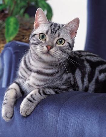 繁殖方式:胎生.属于哺乳动物. 优点缺点 美国短毛猫的优点缺点.