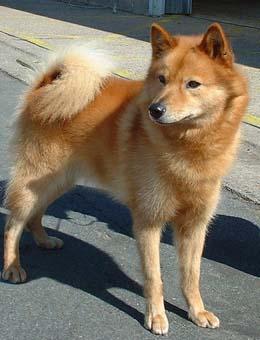 折纸芬兰拉普猎犬_芬兰猎犬_芬兰猎犬排名