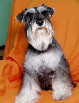 雪纳瑞犬有三个品种,分别为巨型,标准型和小型雪纳瑞犬;三个品种中